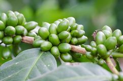 Raw coffe berries. Raw coffe berries on branch royalty free stock images