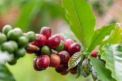 Raw Coffee arabica on the tree waiting for harvest stock photo