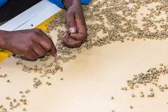 Raw Coffee Bean sorting and processing in a factory. Close up of workers hands picking beans off a production line in a coffee bean factory Royalty Free Stock Photos