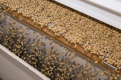 Raw Coffee Bean sorting and processing in a factory. Mechanised Coffee bean processing, Raw Coffee Bean sorting and processing in a factory Stock Photo