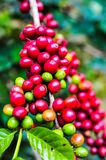 Raw coffee bean on coffee tree plantation in Thailand Stock Photos