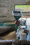 Raw coffee beans being sorted. At farm in Venezuela countryside Royalty Free Stock Image