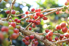 Raw coffee beans cherry. Close up raw coffee beans cherry on tree Stock Image