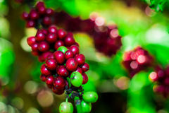 Raw Coffee Beans cherry Stock Photography