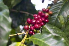 Raw Coffee Beans cherry Stock Photos