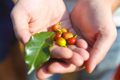 Raw coffee beans in farmers hands Royalty Free Stock Photo