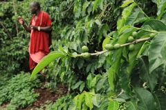 Raw coffee beans farmland stock photo