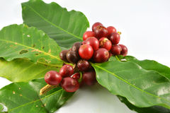 Raw Coffee beans and leaves. Fresh raw coffee beans on white background Royalty Free Stock Photos