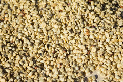 Raw coffee beans solariums Royalty Free Stock Images