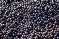 Raw coffee beans solariums Stock Photography