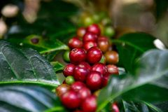 Coffee beans. Raw coffee beans to coffee plant stock images