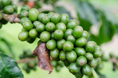 Raw coffee berries. Raw coffee berries,close up royalty free stock image