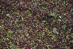 Raw coffee drying Royalty Free Stock Photography