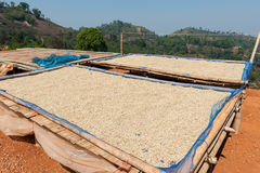 Raw coffee. Drying in the sun in Thailand Stock Photography