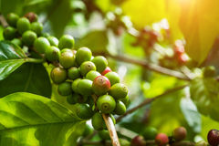 Raw Coffee seed. On the tree Stock Image