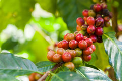 Raw Coffee seed. On the tree Royalty Free Stock Images