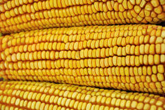 Raw corn cob. In yellow color, shown as food or agriculture concept, and featured background and texture Royalty Free Stock Photography