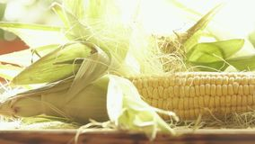 Raw corn cobs with leaves close-up shot. Raw corn cobs with leaves Royalty Free Stock Photos