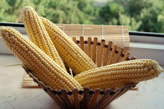 Raw corn cobs on wooden background closeup. Corn cobs in basket Royalty Free Stock Photo