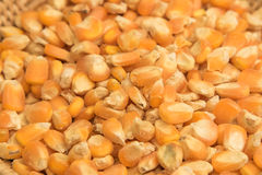 Raw corn seed. For animal food Royalty Free Stock Images