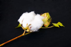 Raw cotton.. Raw cotton winceys on a stem Royalty Free Stock Photography