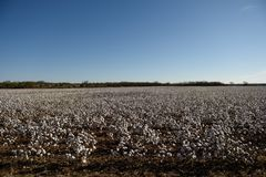 Field of raw cotton, blue sky, farming, rural Texas. Cotton production, clear blue skies and raw white cotton in fields ready for harvest in rural west Texas stock images