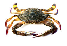Raw crab. Blue crab with white background Royalty Free Stock Image