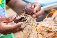 Raw crab on the net. Fisherman release raw crab from the net - close up Royalty Free Stock Photography
