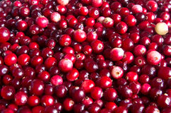 Raw cranberry Stock Image