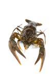 Raw crawfish Stock Photo