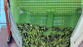 Raw cucumbers on processing stock video footage