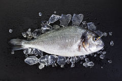Raw Dorade with crushed ice on slate. Raw gilt-head bream on slate with crushed ice and water drops royalty free stock images