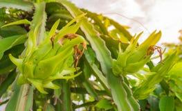 Raw  dragon fruit (Pitaya) in farm. Image of raw  dragon fruit (Pitaya) in the garden Stock Photography