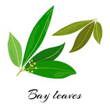 Raw and dried bay leaves. Colored vector illustration. Raw and dried bay leaves. Latin - Laurus nobilis. True laurel branch. Colored vector illustration vector illustration
