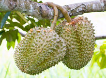 Raw Durian Fruit. Royalty Free Stock Photo