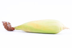Raw ear of  sweet corn on cobs kernels or grains of ripe corn on white background  corn vegetable isolated Royalty Free Stock Photography