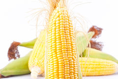 Raw ear of  sweet corn on cobs kernels or grains of ripe corn on white background   sweet corn vegetable isolated Royalty Free Stock Photo