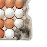 Raw eggs in the tray Stock Image