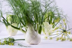 Raw fennel bulbs with green stems and leaves, fennel flowers and root ready to cook. On  white background Stock Images