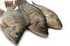 Raw fish. Studio shot of a raw fish Royalty Free Stock Photography