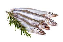 Raw fish capelin and a branch of rosemary isolated Stock Photography