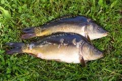 Raw fish carp Stock Photo