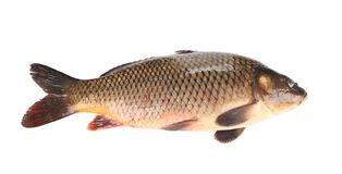 Raw fish carp. Stock Images