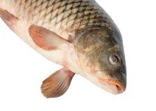 Raw fish carp isolated on white. Background Royalty Free Stock Images