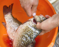raw fish, cleaning, woman hands cut up the fish Royalty Free Stock Image
