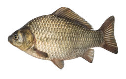 Raw fish crucian carp isolated on the white background, isolated Stock Images