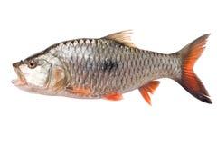 Raw fish freshwater isolate on white. Background Royalty Free Stock Image