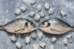 Raw fish on a gray background with ice cubes, top view. Two dorado fish look at each other. Raw fish on a gray background with ice cubes, top view. Two dorado Stock Photos