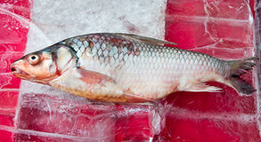 The Raw fish on ice. Background Stock Photo