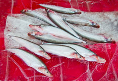 The Raw fish on ice. Background Stock Image